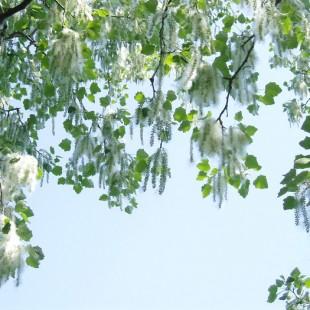 Тополиный пух жара, июль…